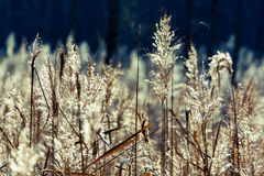 Meadow. Reeds in the sunlight in Lithuania stock image