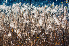 Meadow. Reeds in the sunlight in Lithuania Stock Photography