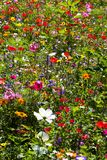 Meadow of richly coloured summer wild flowers. Field of summer wild flowers including daisies and poppies, very colourful, yellow, green, blue, red, colours Stock Photography