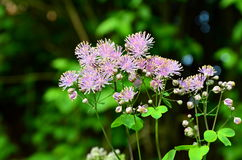 Meadow-rue (Thalictrum aquilegifolium) Stock Photo