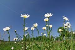 meadow rumianek obrazy stock