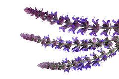 Meadow Sage Flowers Royalty Free Stock Photos