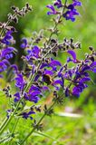 Meadow Sage Royalty Free Stock Photo