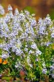 Meadow Sage (Salvia pratensis) Stock Photography