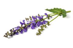Meadow sage Salvia pratensis stock images