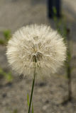 Meadow salsify plant in seed Royalty Free Stock Photography