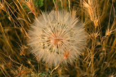 Meadow salsify & x28;tragopogon pratensis& x29; the summer picture, white dandelion against the background of a green grass,. Rest on a meadow Stock Photos