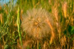 Meadow salsify & x28;tragopogon pratensis& x29; the summer picture, white dandelion against the background of a green grass,. Rest on a meadow Royalty Free Stock Image
