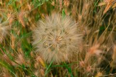 Meadow salsify & x28;tragopogon pratensis& x29; the summer picture, white dandelion against the background of a green grass,. Rest on a meadow Royalty Free Stock Photos