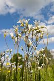 Meadow Saxifrage. Blooms in the meadow Royalty Free Stock Images