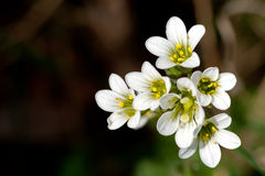 Meadow Saxifrage (Saxifraga granulata). The Meadow Saxifrage (Saxifraga granulata) a white beauty flowering in early summer in Uppland, Sweden stock photo