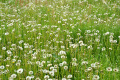 Meadow of seeding dandelions Stock Image