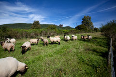 Meadow with sheep Royalty Free Stock Image