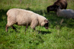 Meadow with sheep Stock Images