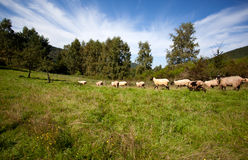 Meadow with sheep Royalty Free Stock Photos