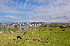 Meadow with sheep in Hundvåg, with lysefjord and island of Bjørnøy behind. Stavanger, Norway Stock Photo