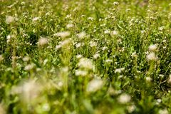 Meadow with shepherd's-purse flowers Stock Images