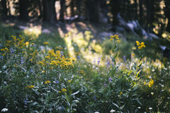 Meadow in the Sierra Nevada Mountains Royalty Free Stock Photography