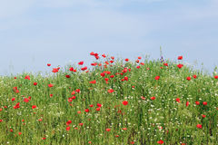 Meadow with sky green grass and wild flowers Royalty Free Stock Image
