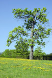 Meadow sow thistle flowers  maple tree hedge. Meadow full of yellow sow thistle Sonchus arvensis flowers and old maple tree near hedge Stock Photography