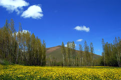 Meadow in spring. Covered with yellow flowers, trees and hill in background; shot in Eastern Turkey Stock Photo