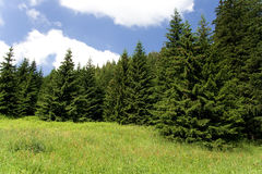 Meadow with spruce Royalty Free Stock Image