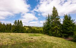 Meadow among the spruce forest. Beautiful springtime landscape in mountainous area royalty free stock image