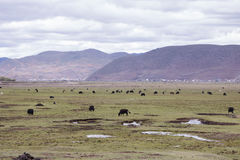 Meadow steppe wild yak surrounding by mountain cloudy weather, S Stock Photography