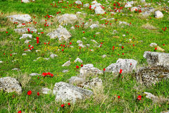 Meadow with stones and red poppy flowers Stock Images