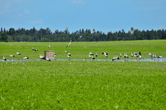 Meadow with storks Royalty Free Stock Photos