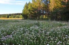 Meadow Summer blossoms. Yarrow Ordinary Achillea millefolium royalty free stock photo