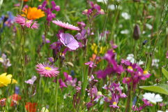 Meadow with summer flowers Royalty Free Stock Images