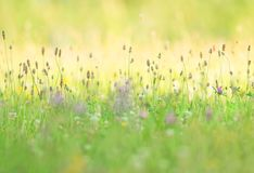 Flowery summer meadow with ribwort plantain stock image