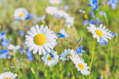 Meadow at summer in Latvia. Stock Images