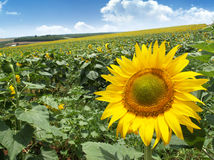 Meadow with sunflowers Stock Photo