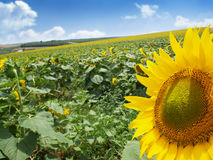 Meadow with sunflowers Royalty Free Stock Photo