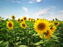 Meadow of sunflowers Stock Image