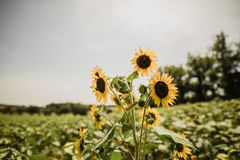 Sunflowers in the south of France. A meadow of sunflowers near Lautrec in the south of France Stock Photo