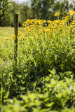 Meadow in sunny day with a wooden picket fences and yellow flowers Royalty Free Stock Photos