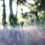 Meadow at Sunset. Golden light shimmers off of wheat and grassy meadow stock images
