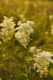 Meadow-sweet Stock Images