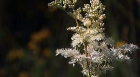 Meadow sweet flower Royalty Free Stock Image