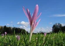 meadow szafran Zdjęcie Royalty Free