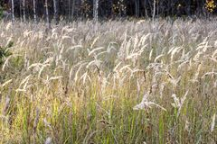 Meadow with tall dryed out grass in the autumn stock photography