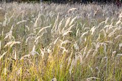 Meadow with tall dryed out grass in the autumn royalty free stock image