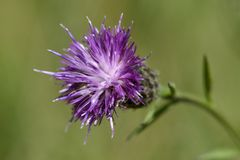 Meadow thistle Stock Photography