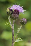 Meadow Thistle Royalty Free Stock Image