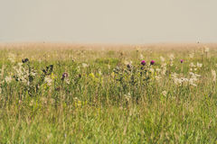 Meadow thistles Royalty Free Stock Images