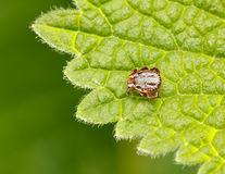 Meadow tick on leaf Royalty Free Stock Photo