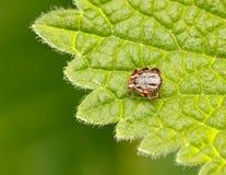 Meadow tick on leaf. Macro top view of dangerous bloodsucker disease carrier tick Ixodidae, Dermacentor reticulatus crawling on nettle grass Royalty Free Stock Photo